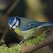 Blue Tit. Cyanistes caeruleus 16/02/2018