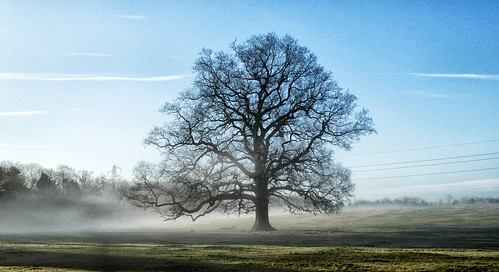 Hallow - Winter oak tree in the mist