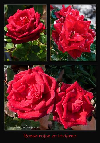 rosas rojas en invierno