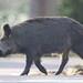 Wild Boar Sus scrofa Sowe 002-1