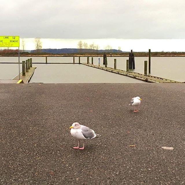 Plump seagulls on the Everett waterfront.