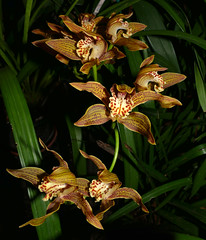 Cymbidium iridioides species orchid