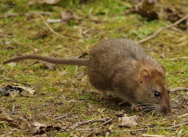 wild urban rat  (5)