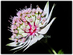 Beautiful flower of Astrantia major (Greater Masterwort, Great Black Masterwort, Melancholy Gentlemen), March 1 2018