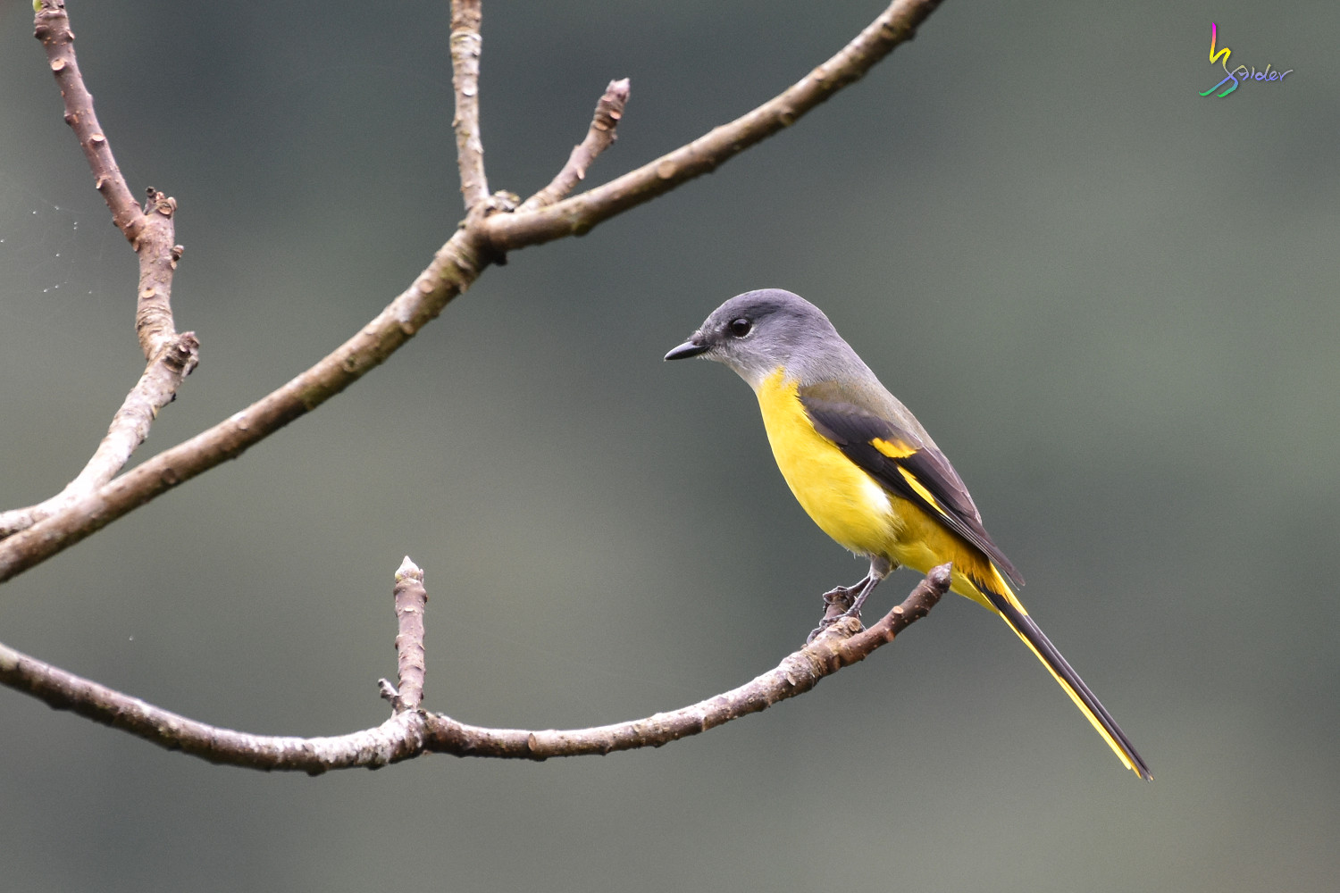 Gray-chinned_Minivet_6899