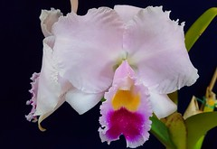"Cattleya trianae""A C Burrage"" AM/AOS"