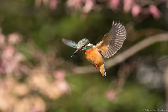 20180127-kingfisher-DSC_6012