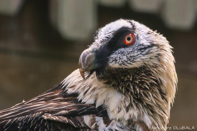 Bearded Vulture (press L for better details) [explored]