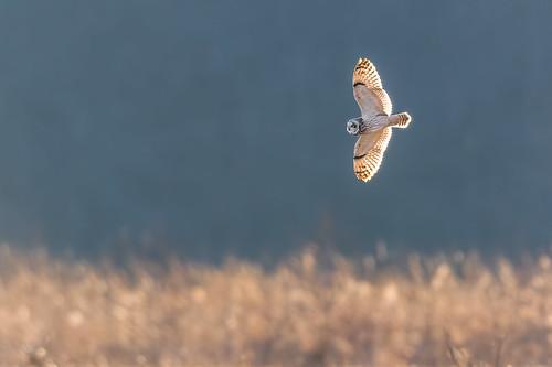 asioflammeus flight seo nature bif shortearedowl wildlife farm polefarm bird owl mercermeadows pennington newjersey unitedstates us nikon d500 backlit
