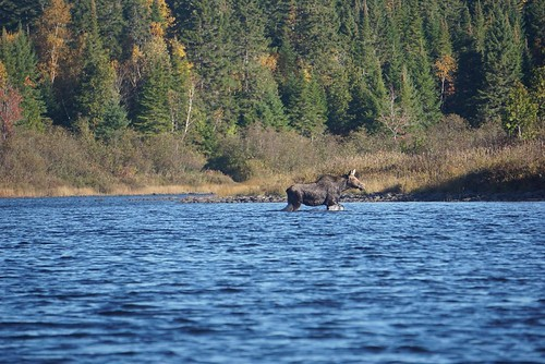 Moose crossing on the Allagash River in Maine. Photographer Ted Nelson