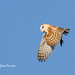 The flight of the Barn Owl