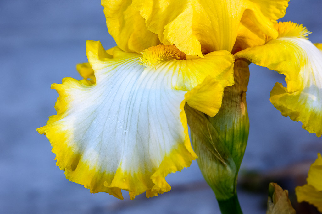 20180216_Yellow_Bearded_Iris_001
