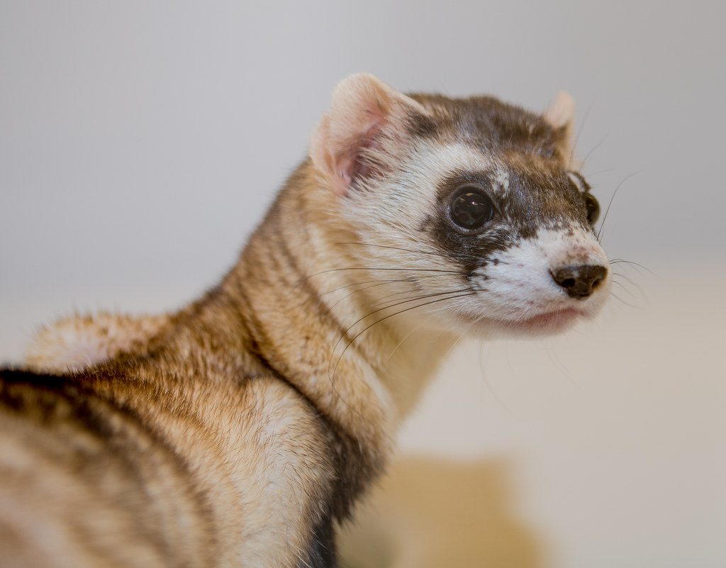 Black Footed Ferret_5