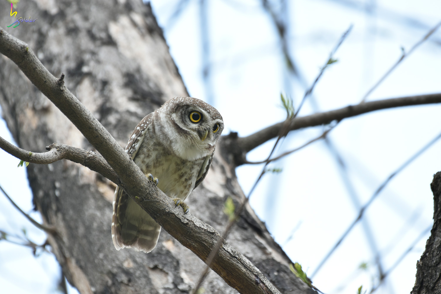 Spotted_Owlet_3686
