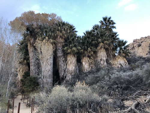 Joshua Tree - Cottonwood spring palms