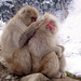Snow Monkey Park Japan 2018, monkeys grooming together WM