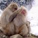 Snow Monkey Park Japan 2018, monkeys grooming together WM
