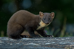 Pine Marten
