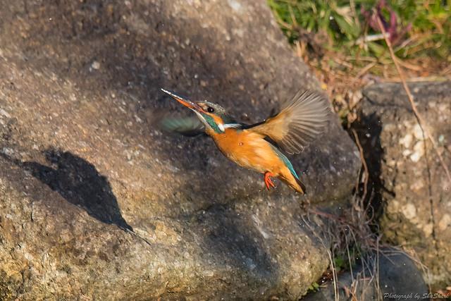 20180114-kingfisher-DSC_4370