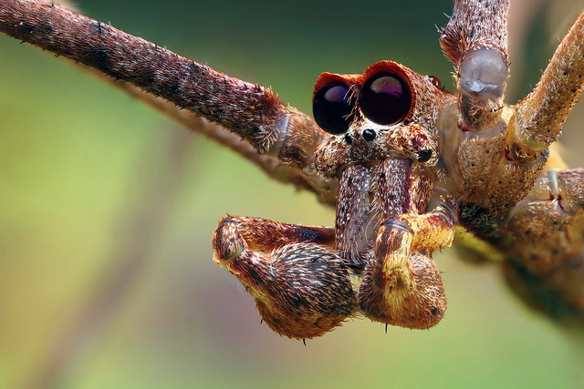 Net-casting spider portrait