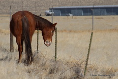 Virgina Range Horse using barbed wire pole as a scratching post.