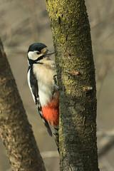 Great Spotted Woodpecker - Montevecchia - ItalyFJ0A9551