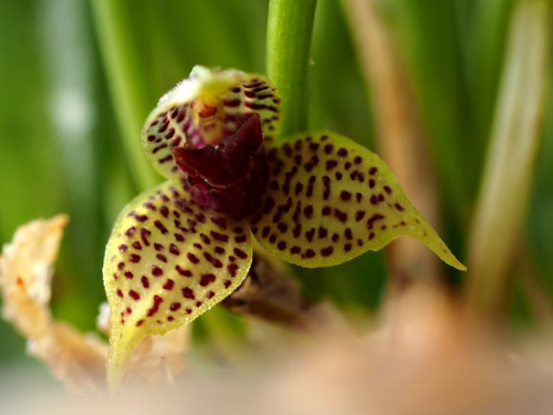 Les Orchidées chez Cloo en 2018 - Page 4 26762472498_acb190dee0_o