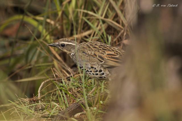 Spotted quail-thrush Cinclosoma punctatum, Canon EOS 760D, Sigma 50-500mm f/4.5-6.3 APO DG OS HSM