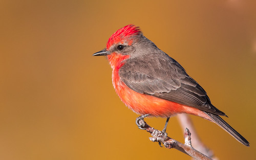 vermillion flycatcher bird animal perched pose quality arizona wing white sky stick smoke explore explored eos ef400mm56l desert canon color common red flight flickrelite fly view tucson tail talons tree twig gray great garden bokeh beyondbokeh beak bill black brown yellow ngc park plant lake 7dmarkii