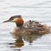 GREBE AND CHICK #20.JPG