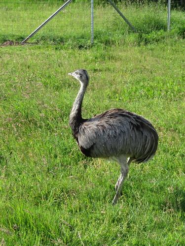 20170607 09 015 Regia Regia Wünschensuhl Emu Strauß Tier