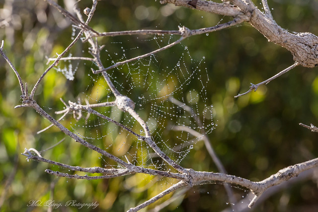 Spider web after early morning rain on a dry land tea tree bush