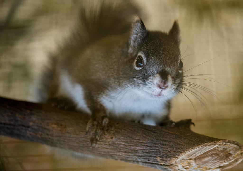 Mount Graham Red Squirrel_9