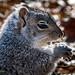 Esatern Grey Squirrel (Sciurus carolinensis)
