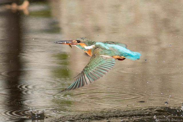 20180127-kingfisher-DSC_5866
