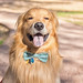 Golden Retriever Portrait (1 of 1)
