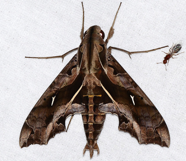 Hawkmoth (Hemeroplanes triptolemus)