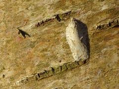 HolderAcleris logiana