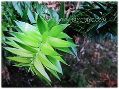Green leaves of Araucaria bidwillii (Bunga Pine, Bunya-Bunya Tree, False Monkey Puzzle Tree, Queensland Pine) that turn dark green as they mature, 8 Feb 2018