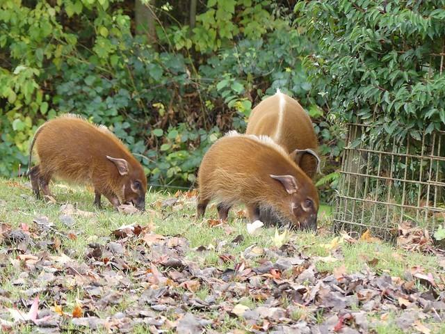 Pinselohrschwein, GaiaZOO