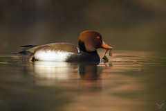 Netta rufina, Fistione turco, Nette rousse, red-crested pochard
