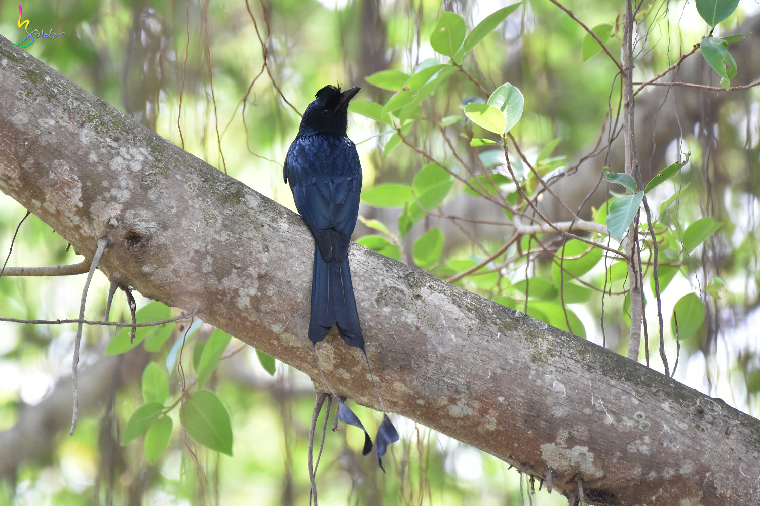 Greater_Racket-tailed_Drongo_4214