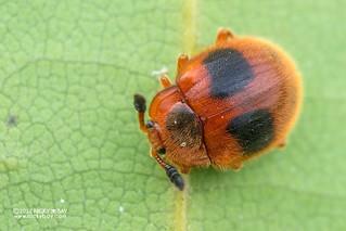 Handsome fungus beetle (Stenotarsus sp.) - DSC_1901