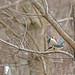 Sacred Kingfisher 75