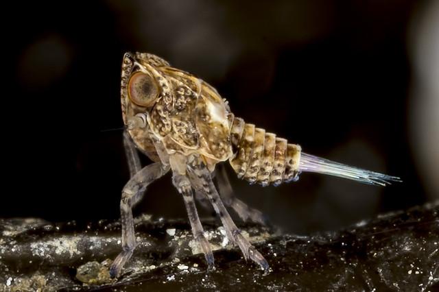 Planthopper (Fulgoroidea)