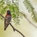 Anna's Hummingbird in Mesquite