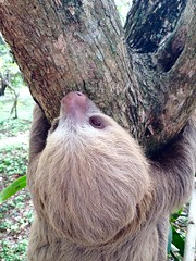A two-toed sloth visiting our office today