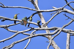 Rainbow Bee-eaters ( Feeding time )