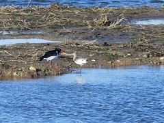 Oystercatcher meets Black-tailed Godwit- Crop  P1530935