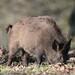 Wild Boar Sus scrofa Sowe 004-1
